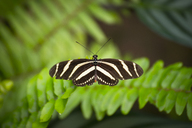 Spain, Canary Islands, butterfly on leaf - STCF00460