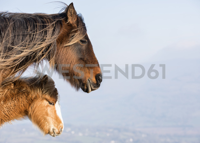 United Kingdom, Brecon Beacons, Wild Horses, mother and young animal - ALRF01011