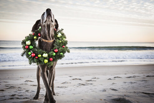 Great Dane wearing Christmas wreath on shore at beach - CAVF11259