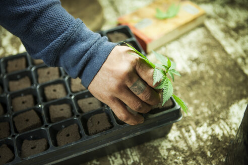 Cropped image of farmer planting Cannabis plant in tray at greenhouse - CAVF11370