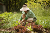 Woman crouching while harvesting leaf vegetables at farm - CAVF11382