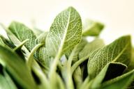 Close-up of green leaf vegetable - CAVF11520