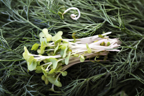 Close-up of sprouts on rosemary plant - CAVF11595