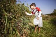 Boy plucking fruits from plants in field - CAVF11772