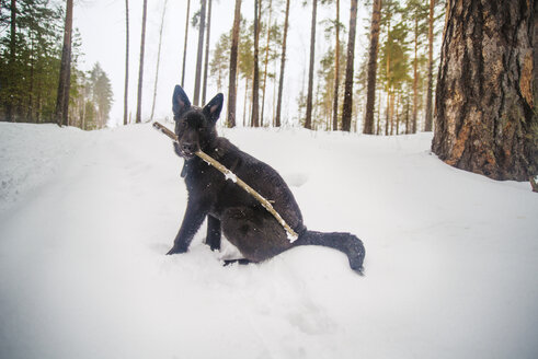 Portrait of dog carrying stick in mouth while sitting on snow covered field - CAVF12896