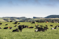 Cows grazing on grassy field against blue sky - CAVF13307
