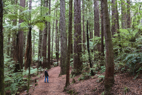 High angle view of hiker walking in Redwood forest - CAVF13322