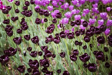 High angle view of purple tulips blooming on field - CAVF15020