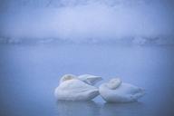 Swans sleeping in lake - CAVF15257