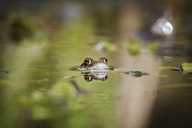 Close-up of frog swimming in lake - CAVF16180
