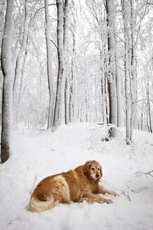 Golden Retriever resting on snow covered field against forest - CAVF17498