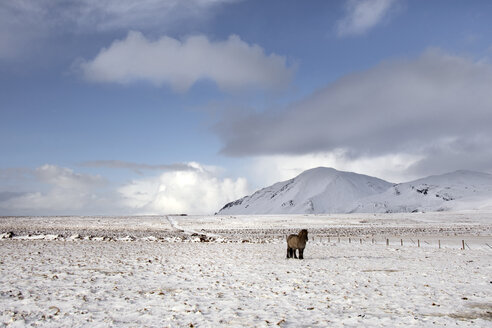 Icelandic horse standing on snowcapped landscape against sky - CAVF18007