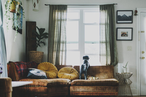 Rear view of dog looking through window while standing on sofa at home - CAVF20494