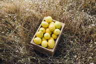 Basket full of lemons on field - CAVF20548