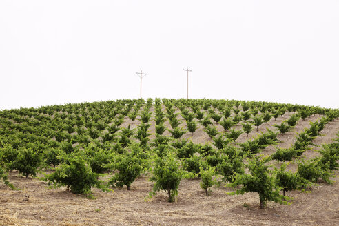 Scenic view of vineyard against clear sky - CAVF20803