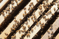 Overhead view of honeybees on wooden frames - CAVF20827