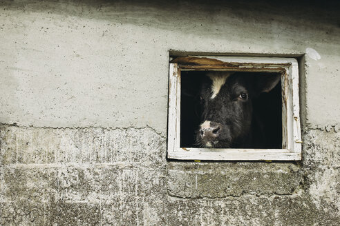 Portrait of cow seen through barn's window - CAVF23578