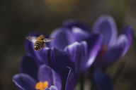 Close-up of honey bee flying over flowers - CAVF24169