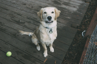 High angle portrait of dog sitting on floorboard - CAVF24695