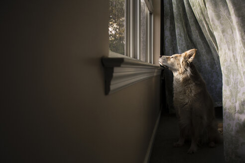 Dog looking through window while sitting at home - CAVF24788