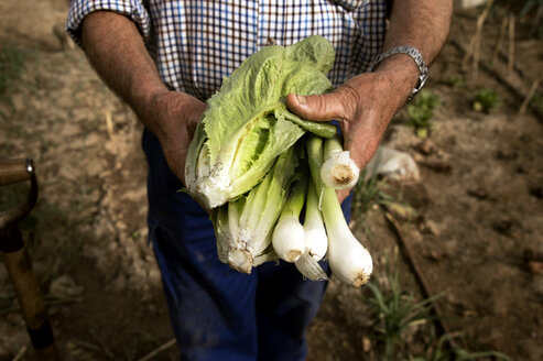 Midsection of farmer holding freshly harvested spring onions and lettuce at field - CAVF25071