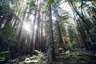 Sunlight streaming through trees in forest - CAVF26673