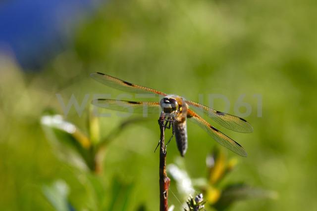 Dragonfly at twig - JTF00955