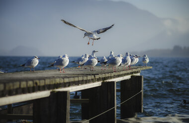 Austria, Salzkammergut, Lake Mondsee, wooden walkway and seagulls in the morning - STCF00577