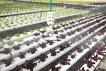 Sprinkler in greenhouse spraying vegetables - ZEF15191