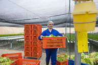 Worker in greenhouse carrying crate with freshly harvested vegetables - ZEF15194