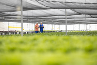 Workers in greenhouse inspecting plants - ZEF15197