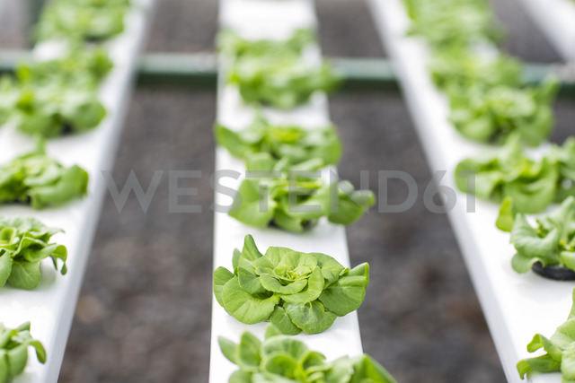 Vegetables growing in greenhouse - ZEF15200