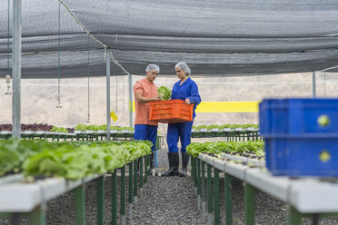 Workers in greenhouse carrying crate with freshly harvested vegetables - ZEF15203