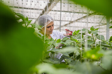 Young woman working in greenhouse, pruning vegetable plants - ZEF15215