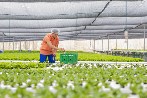 Greenhouse worker packing vegetable crate - ZEF15221