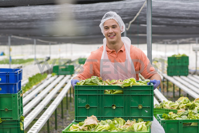 Worker in greenhouse carrying crate with freshly harvested vegetables - ZEF15224