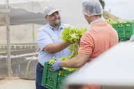Workers on b´vegetable farm packing lettuce - ZEF15230