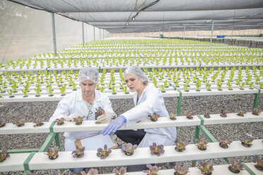 Workers in greenhouse inspecting plants - ZEF15236