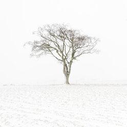 United Kingdom, Scotland, East Lothian, North Berwick, lone tree in snow - SMAF00989