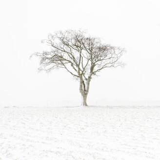 United Kingdom, Scotland, East Lothian, North Berwick, lone tree in snow - SMAF00989