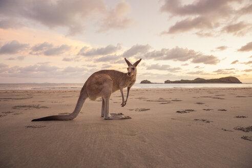 Kangaroo on beach at sunset - FOLF00610