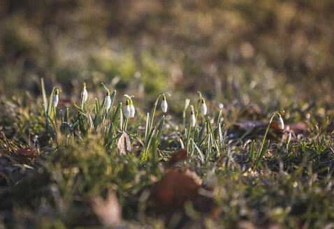Snowdrops, Galanthus - ASCF00841