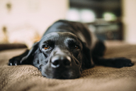 Dog lying on bed at home - CAVF28703
