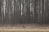 Doe standing in meadow - FOLF02029