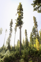Low angle view of pine trees against sky - CAVF30202