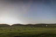 Cows on pasture at sunset - FOLF02876