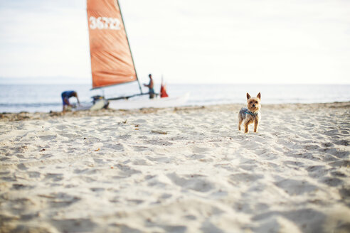 Portrait of Yorkshire Terrier standing at beach with family in background - CAVF31056