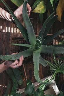 Woman caring for an aloe vera - SKCF00359