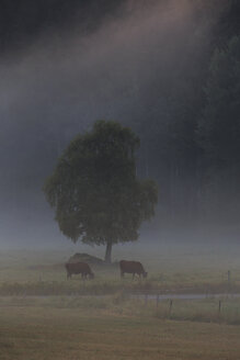 Two cows under tree - FOLF03804