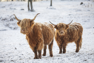 Highland cattle in the snow - FOLF04692